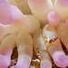 Squat anemone shrimp by altsaint