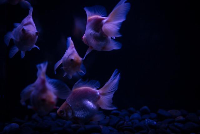 アートアクアリウム展で幻想的な金魚の写真撮影
