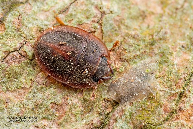 Sap beetle (Nitidulidae) - DSC_2933