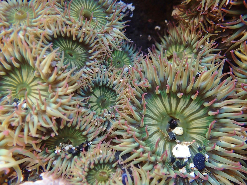 Yaquina Head tide pools, aggregating anemones