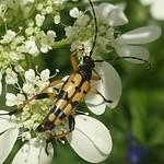 tarkacsápú karcsúcincér - Rutpela maculata