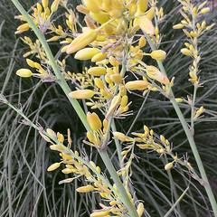 Yellow Yucca, Tiny