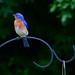 168:365 - 07/02/2016 - Blue Bird by Shardayyy