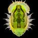 Tortoise beetle (Cassida viridis?) pupa. by Sebastián Jiménez López