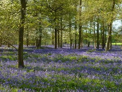 Greys Court bluebells 3