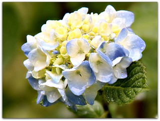 """Hydrangeas are one of the most beautiful flowers."""