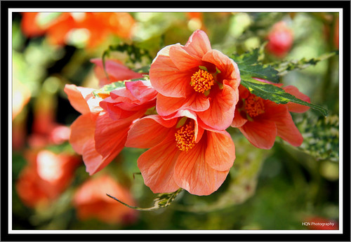 Hoa sau hè