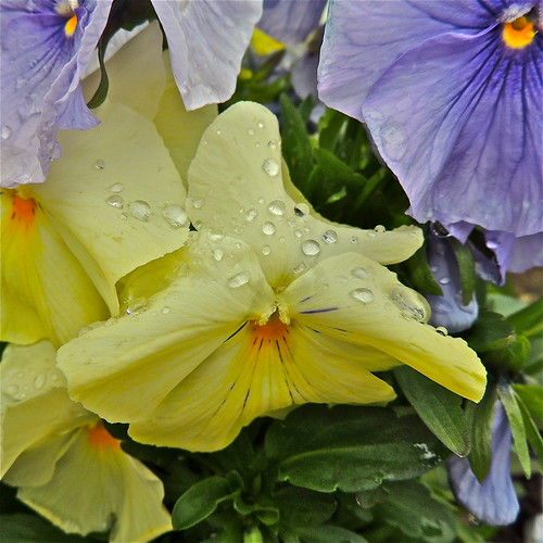 Raindrops On Pansies........ by Irene_A_