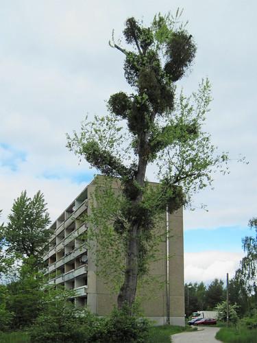 Gräfenhainichen (Zschornewitz) - Big tree