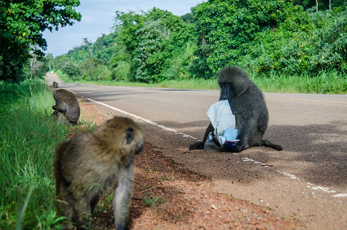 Baboon Map Thief