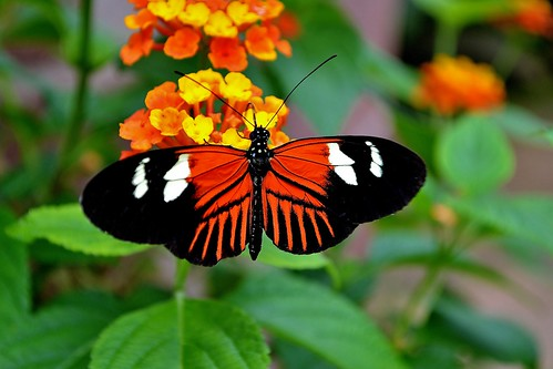 The Postman Butterfly