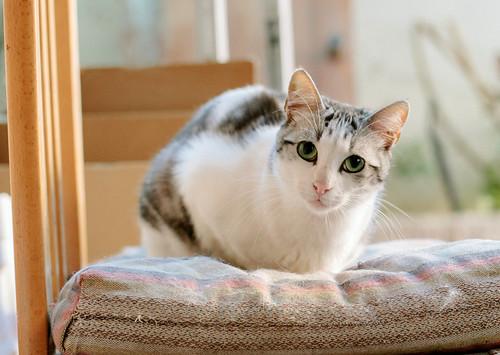 Axel, mimoso gatito blanco y tabby gris azulado, ojazos verdes, sano y esterilizado de 2 años en adopción. Valencia 9142743372_a4215aaa53