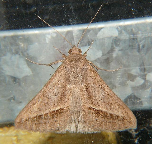 Moth pale form Airlie Beach P1150788
