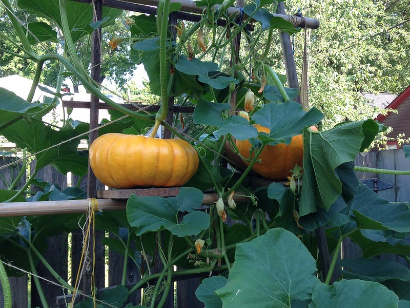 We planted a vertical pumpkin patch in our tiny urban for Best pumpkins to grow
