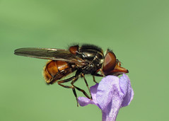 Hoverfly - Rhingia campestris