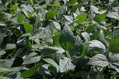 shrub, garden, leaf, plant, herb, flora, green, ivy,