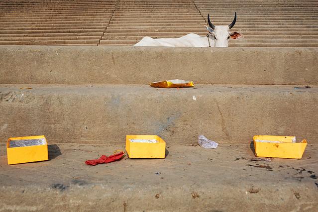 Cow - Varanasi, India - Animals in Streets