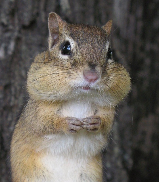 Petit suisse -- Little chipmunk (close-up)