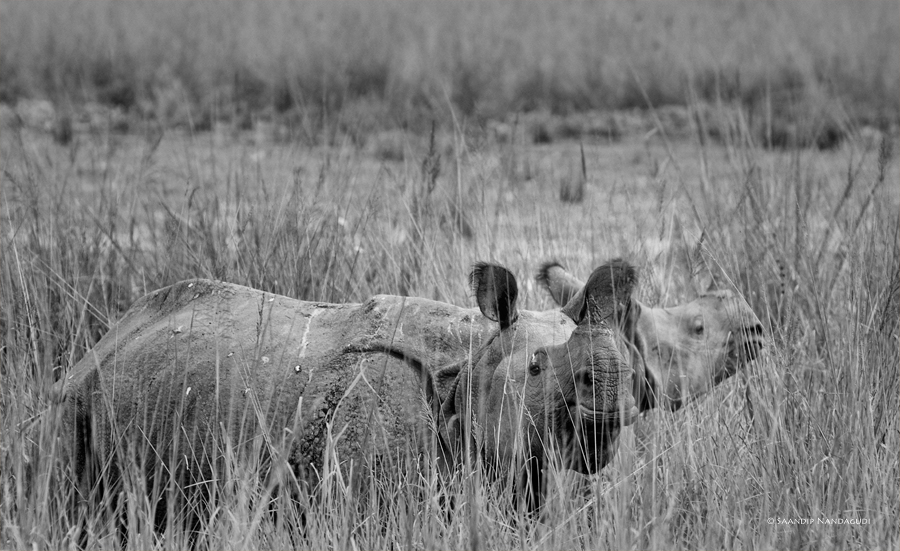 Rhino-bw4