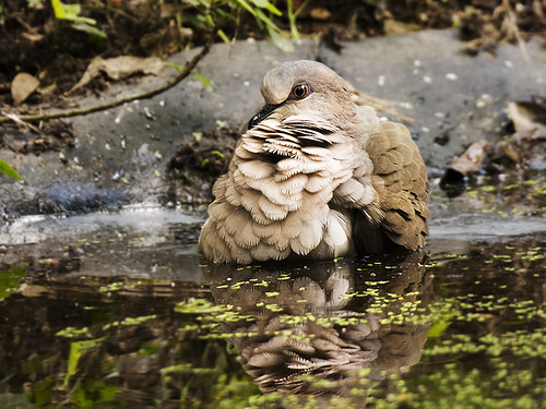 Texas: White-tipped Dove Bathing 2