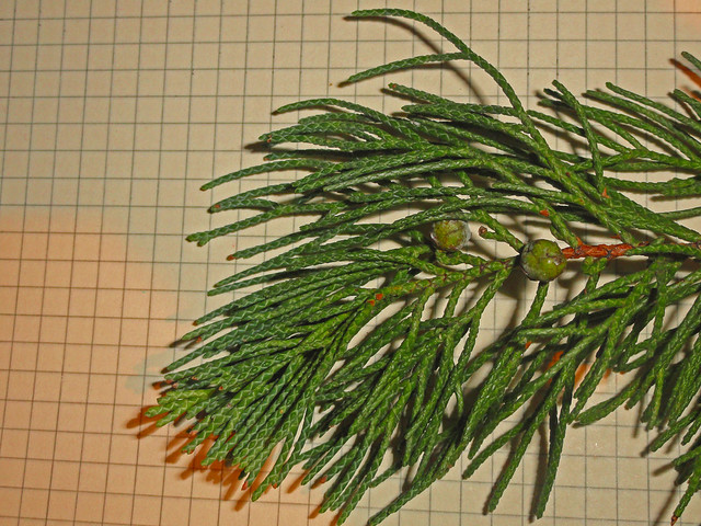 Juniperus, magnified image of a branch