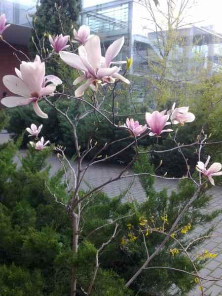Jardineros en acci n magnolia x soulangeana - Cuidados del magnolio ...