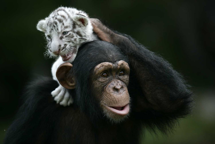 Anjana the chimpanzee with her white tiger cub friends.