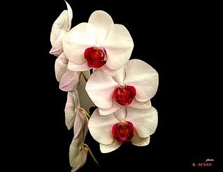 Three  . . . (Orchid)