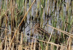 wetland, swamp, agriculture, grass, fauna, snipe, bird, wildlife,