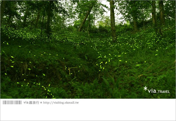 【台中螢火蟲】東勢林場螢火蟲~賞螢必遊!滿滿的螢火蟲閃爍夢幻光芒16
