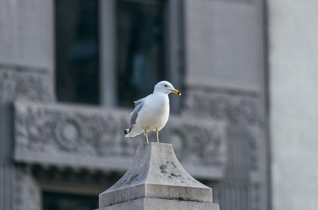 Seagull at the Chicago River