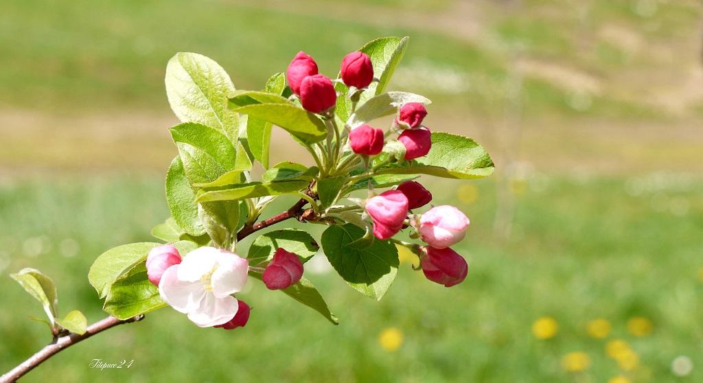 Petites Fleurs douces de pommier-nain 14041531271_d5383bac92_o