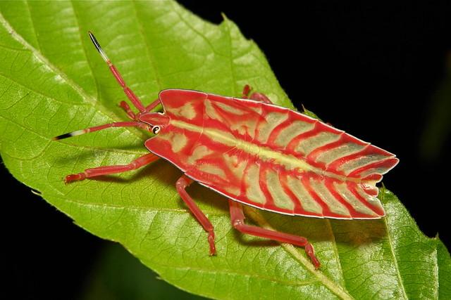 Tessaratomid Giant Shield Bug Nymph (Tessaratomidae)