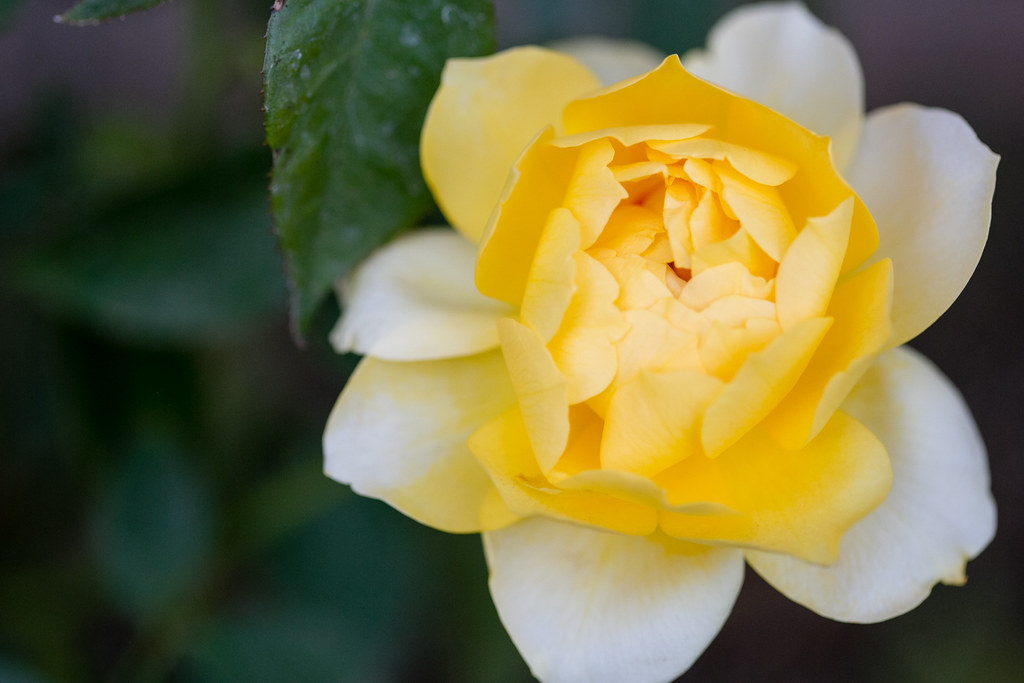 132/365 Yellow Rose