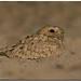 Sykes's Nightjar (Caprimulgus mahrattensis) by birdsforlife