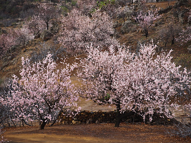Almond Trees in Bloom, Tenerife