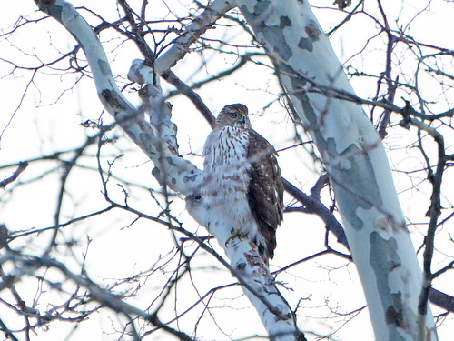 Morningside Cooper's Hawk - 5724