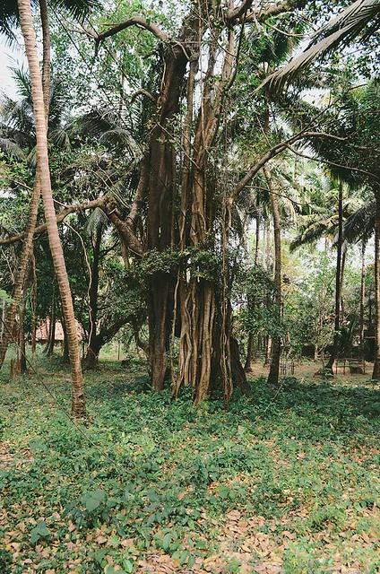 Goa - Banyan Tree   A Brown Table