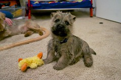 dog breed, animal, puppy, dog, schnoodle, pumi, pet, norfolk terrier, mammal, standard schnauzer, schnauzer, lakeland terrier, cairn terrier, miniature schnauzer, terrier,