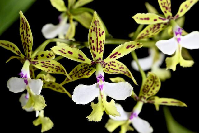 Epidendrum standfordianum 16469453151_d215561677_z