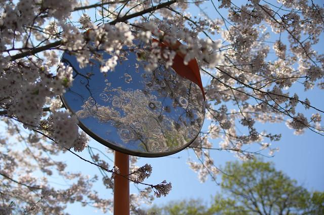 20160508手宮公園の桜_07