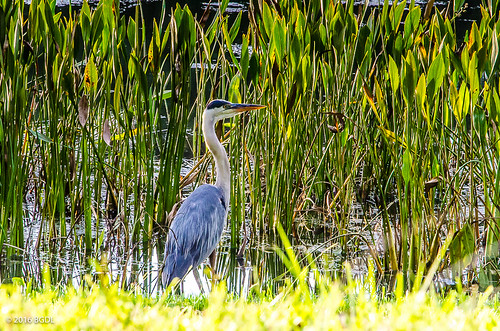 lake florida blueheron marshes lakewoodranch nikond7000 afsnikkor18105mm13556g bgdl lightroomcc goingfor4inarow~366