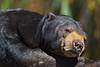 Otay the Malayan Sun Bear
