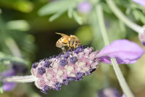 honeybee and lavender