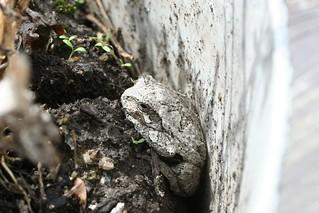 Eastern Grey Treefrog