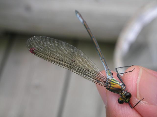 アサヒナカワトンボの羽に寄生するトンボダニカの仲間.