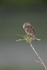 Song Sparrow and Worm-45322.jpg by Mully410 * Images