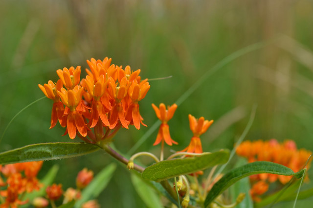 Asclepias tuberosa (butterfly weed) on the Visitor Center's living roof. Photo by Blanca Begert.