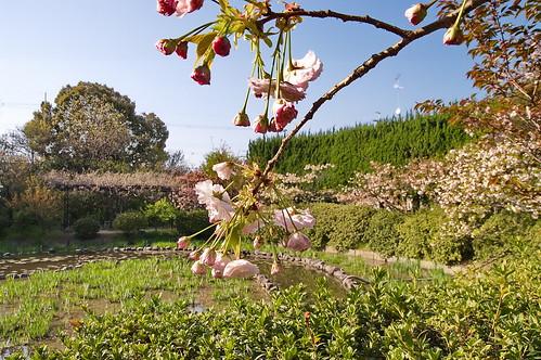 【写真】2013 桜 : 梅宮大社/2019-06-14/IMGP0208