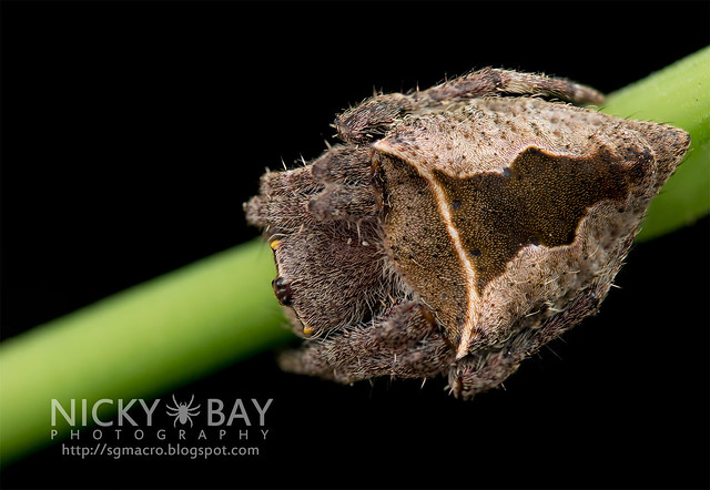 Garden Spider (Parawixia sp.) - DSC_9709